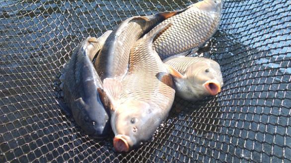 茨城県霞ケ浦の活鯉