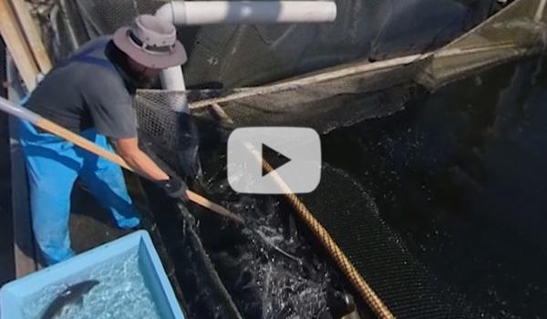 山野水産の食用鯉養殖場から出荷までのVR動画