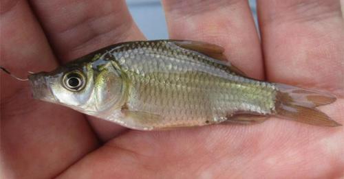医療・実験用で使用する鯉の稚魚