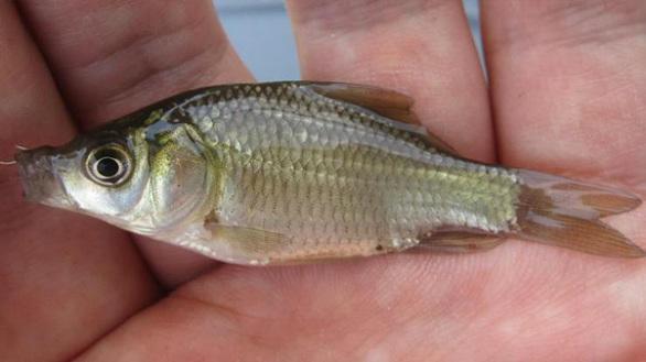 医療・実験用 鯉の稚魚