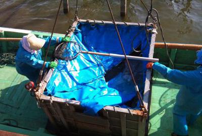 霞ヶ浦の鯉の水揚げ