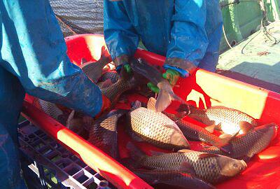 霞ヶ浦養殖 鯉のサイズ選別