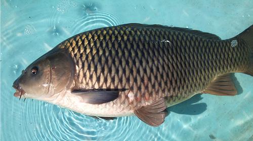 霞ヶ浦 鯉の効能