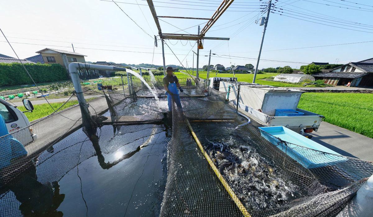 鯉の出荷の様子のVRツアー:茨城県かすみがうら市山野水産